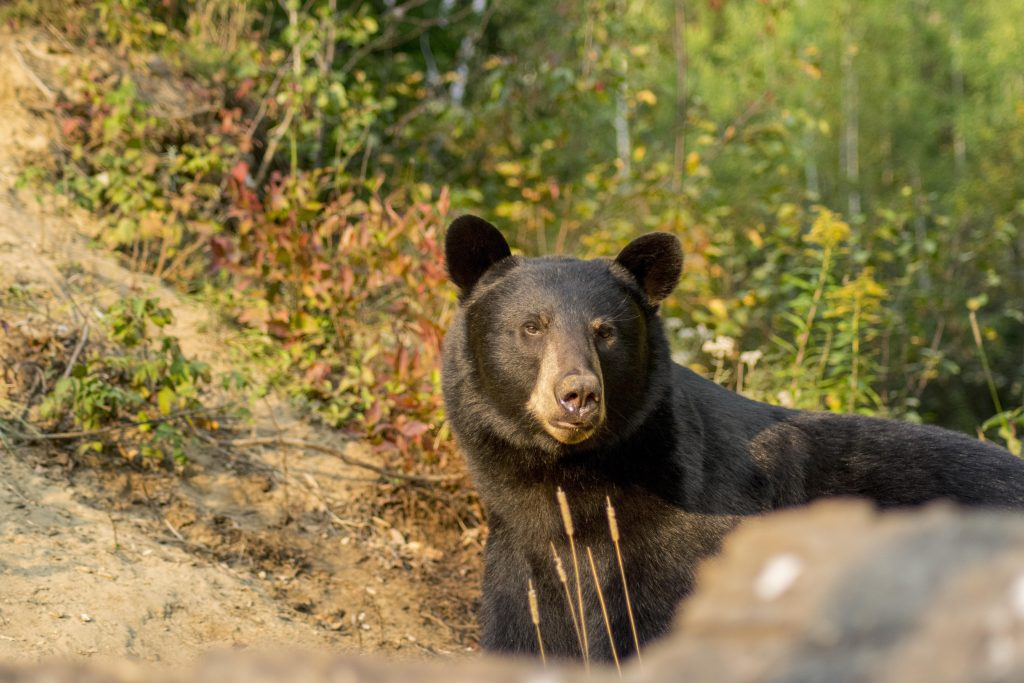 Observation de l'ours noir à Tadoussac