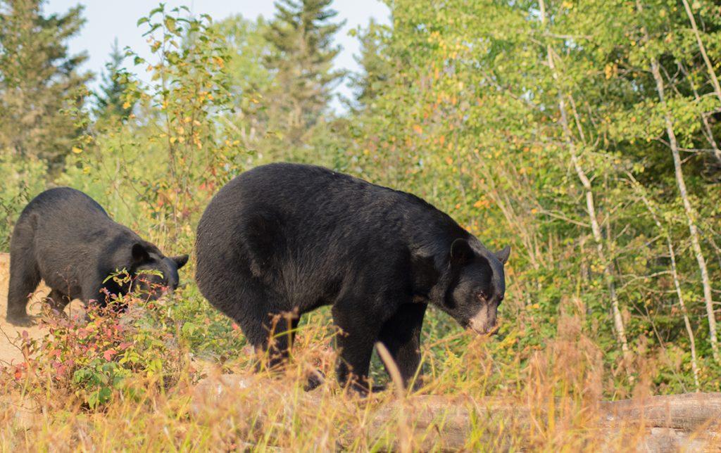 Découvrez l'ours noir dans son habitat sauvage