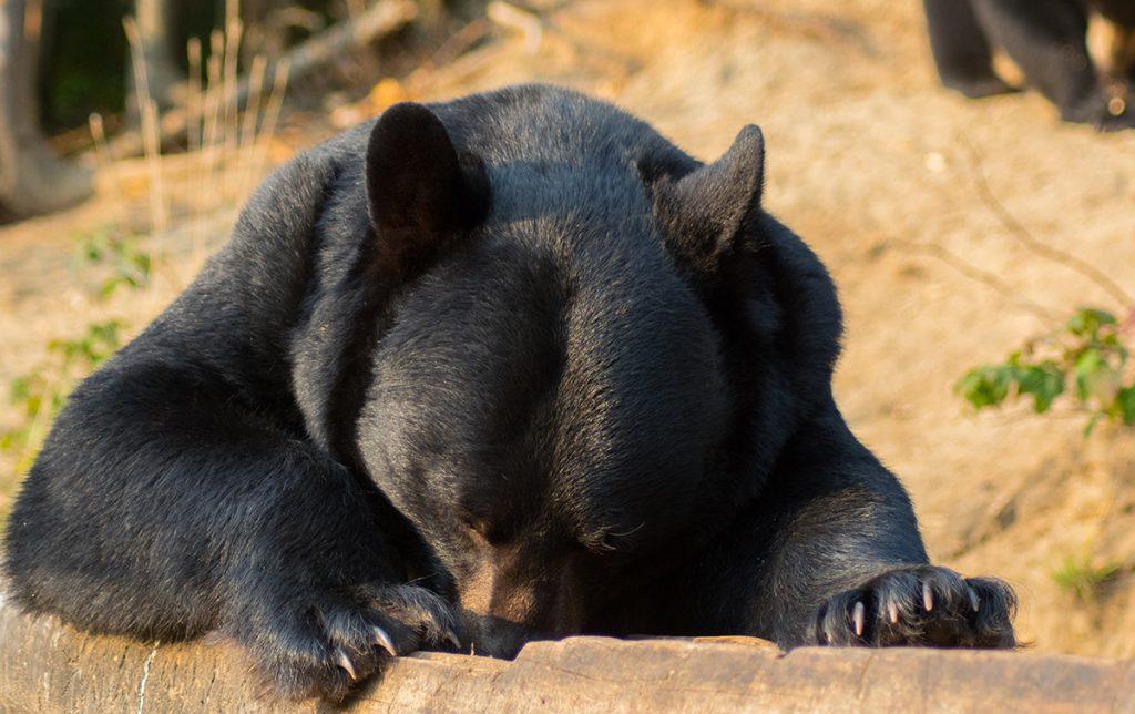 L'ours noir qui se nourrit