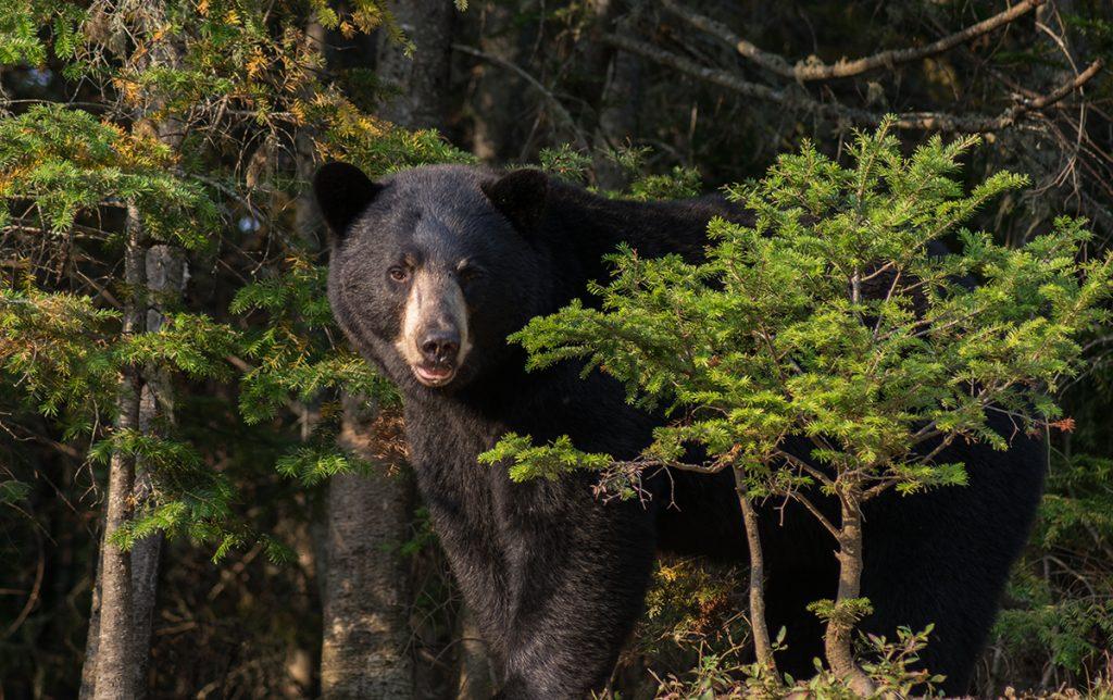 L'ours noir dans son habitat naturel